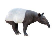 马来貘或被隔绝的亚洲貘 免版税库存图片