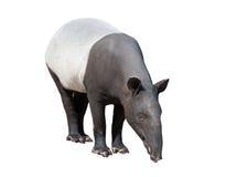 马来貘或被隔绝的亚洲貘 库存图片