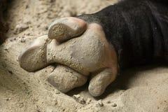 马来貘貘类动物indicus的蹄 图库摄影