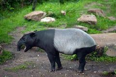 马来貘貘类动物indicus,亦称亚洲貘 免版税库存图片