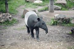 马来貘貘类动物indicus,亦称亚洲貘 库存照片