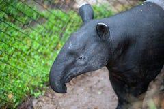 马来貘貘类动物indicus,亦称亚洲貘 库存图片