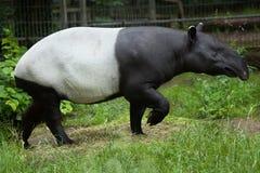 马来貘貘类动物indicus 库存照片