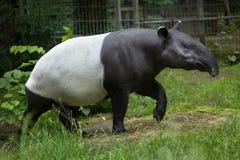 马来貘& x28; 貘类动物indicus& x29; 图库摄影