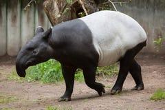马来貘& x28; 貘类动物indicus& x29; 免版税库存图片