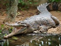 马来鳄鱼类schlegelii 库存照片