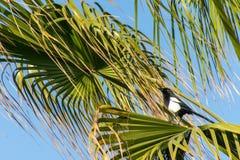 马格里布鹊在一棵热带棕榈树的12点活字mauritanica,阿加迪尔,摩洛哥 免版税库存图片