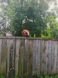 马棕色看在篱芭 库存照片