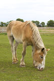 马棕褐色的白色 库存图片