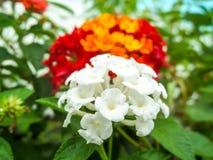 马樱丹属纯净的白色和红色橙黄五颜六色的口气秀丽fl 免版税库存照片