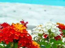 马樱丹属纯净的白色和红色橙黄五颜六色的秀丽花 免版税库存照片