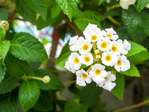 马樱丹属纯净的白色秀丽花绽放 免版税库存照片