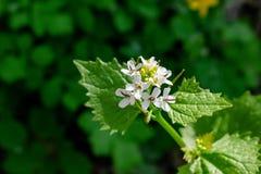 马樱丹属花在庭院里 免版税库存照片