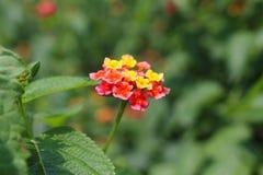 马樱丹属花在庭院里 免版税库存图片