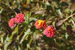 马樱丹属camara花在庭院里 免版税图库摄影