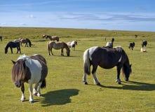 马牧群在一个草甸的在康沃尔郡,南西部英国 免版税库存图片