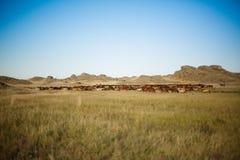 马牧群在哈萨克人干草原的 图库摄影