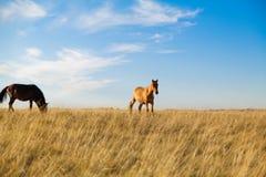 马牧群在哈萨克人干草原的 免版税库存照片