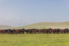 马牧群在夏天牧场地的。 免版税库存照片