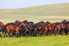 马牧群在夏天牧场地的。 库存照片