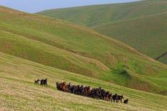马牧群在夏天牧场地的 免版税库存图片