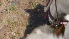 马牧群在湖喝水 股票视频