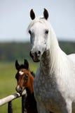 马牧群在牧场地的 免版税库存照片