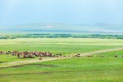 马牧群在草原的 图库摄影