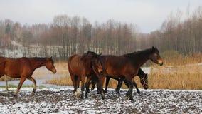 马牧群在草甸的 影视素材