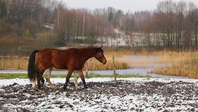 马牧群在草甸的 股票视频