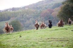 马牧群在草甸 库存照片