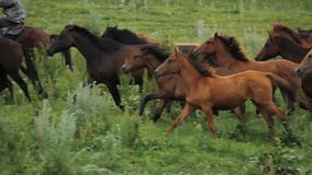 马牧群在阿拉木图山麓小丘吃草  股票视频