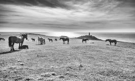 马牧群在风景沿海牧场地的 库存照片