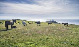 马牧群在风景沿海牧场地的 免版税库存照片