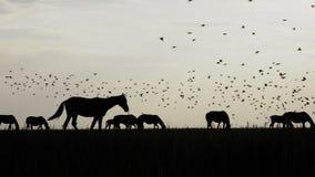 马牧群黑剪影在干草原和飞鸟的在天空 股票录像