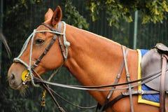 马球设备 有辔的马头 库存照片