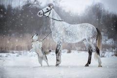 马由辔带领狗 Orlovskiy小跑步马和阿拉斯加 免版税图库摄影