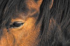 马的眼睛 库存图片