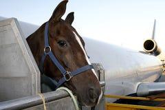 马的空中运输 免版税库存照片