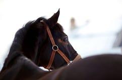 马的纵向。 免版税库存图片