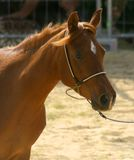 马的纵向 库存图片