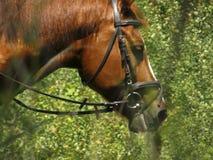 马的美丽的枪口 库存照片