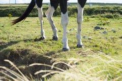 马的腿在一个领域的与绿色grasss 免版税库存图片