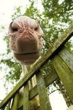 马的鼻子 免版税库存照片