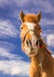 马的画象 库存图片