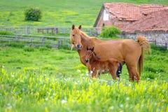 马看一只驹在草甸1 免版税库存照片