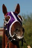 马眼罩顶头马 免版税库存照片