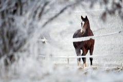 马系列冬天 免版税图库摄影