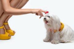 马耳他狗 库存图片