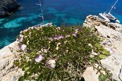 马耳他,科米诺岛,一棵雀跃植物的特写镜头视图海岛绽放的,在俯视海的峭壁 库存图片